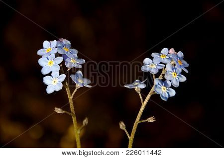 Some Blue Forget-me-nots Against A Black Background