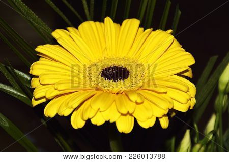 Yellow Transvaal Daisy. One Yellow Flower Of Calendula.
