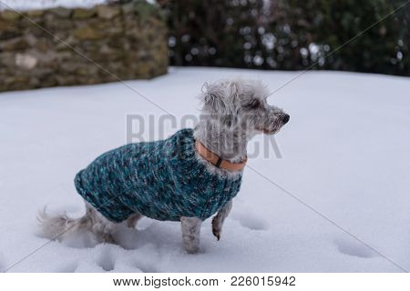 White Havanese Is Curious With Dog Coat In The Snow