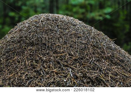 Big Anthill Withnout A Branch In A Forest