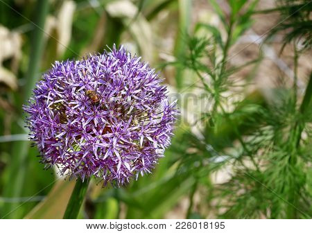 Decorative Onion Bloom-purple Allium Flower With Little Bee.