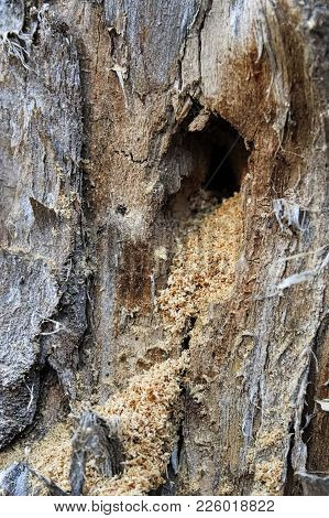 The Sawdust In The Entrance Of A Carpenter Ant Nest.