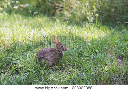 Wild Rabbit On Green Grass In Park In Toronto, Ontario, Canada, Summer Time