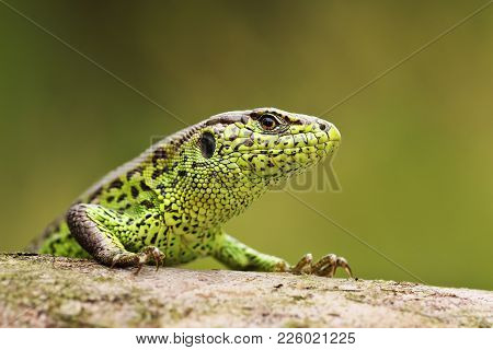 Portrait Of Curious Sand Lizard On A Wooden Stump ( Lacerta Agilis ); Wild Reptile Basking In Natura