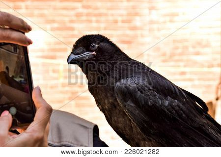 Taking Foto Of Black Crow By Smartphone On The Brick Background