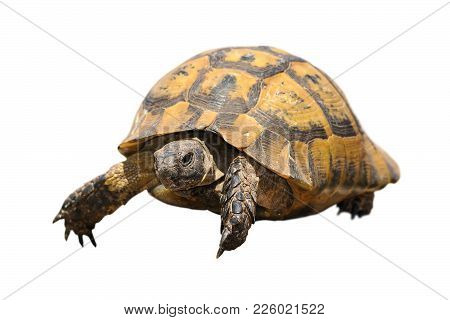 Greek Tortoise Isolated Over White Background ( Testudo Graeca ), Wild Reptile For Your Design
