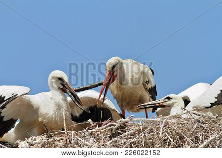 White Stork Feeding Youngsters, Birds Eating Snake In The Nest ( Ciconia )