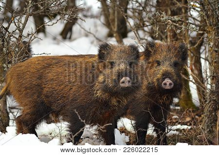 Young Wild Boars Brothers  Looking At The Camera ( Sus Scrofa )