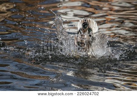A Duck Or Water Bird Plunges Into The Water With Only The Tail Showing