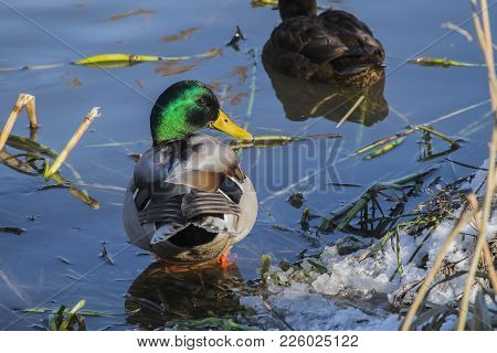 Mallard Drake  Standing In Cold Water And Turned Around (anas Platyrhynchos)