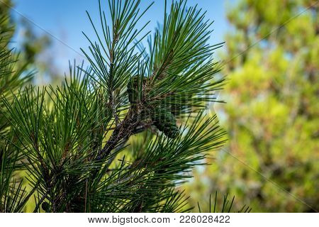 Pine Cone Growing On A Tree In Malaga, Spain, Europe