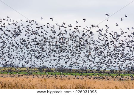 A Large Flock Of Birds Lands In The Field
