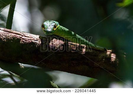 Lora Or Parrot Snake - Leptophis Ahaetulla