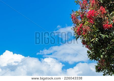 Pohutukawa Tree Flowering With A Cloudy Blue Sky Background.