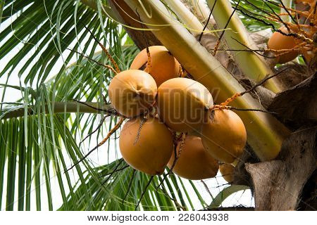 Fresh Coconut Fruits Hanging On Coconut Tree