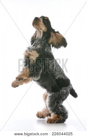 male english cocker spaniel isolated on white background