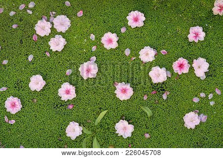 Peach Flowers Fall On Duckweed Floating On Water Surface. Peach Flower Is Symbol Of Vietnamese Lunar