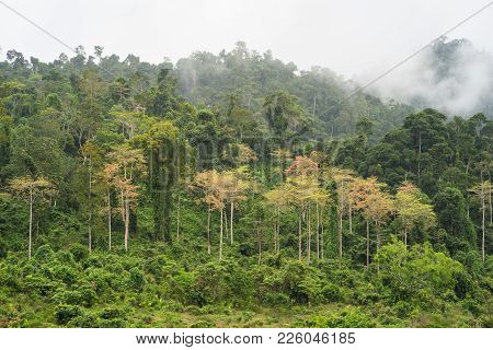 Forest Hill With Yellow Tree Among Green Tree With Low Clouds In Tay Nguyen, Central Highlands Of Vi