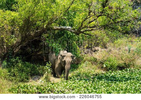Elephant Living In Green Jungle In Tay Nguyen, Central Highlands Of Vietnam