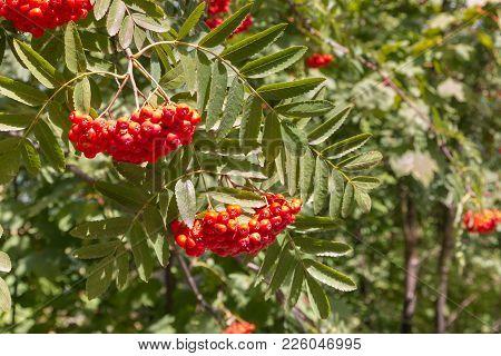 Rowan Tree With Ripe Orange Rowanberry Fruit