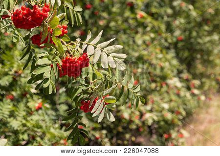Mountain-ash Tree With Clusters Of Ripe Orange Rowanberry Fruit