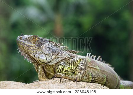 Iguana, An Endangered Species Of Lizard. Portrait Of Green Iguana