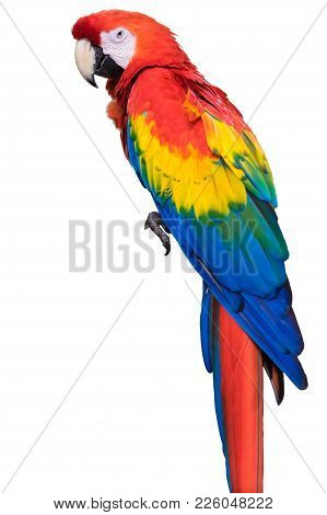 Colorful Bright Exotic Wild Animal Bird Of Parrot With Red Yellow Blue Feathers Isolated On White