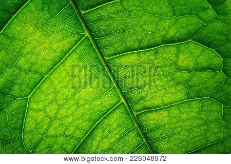 Close Up Dark Green Venous Leaf Texture Background