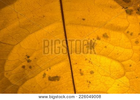 Close Up Yellow Venous Leaf Texture Background With Blackened Spots In Regard To Aging