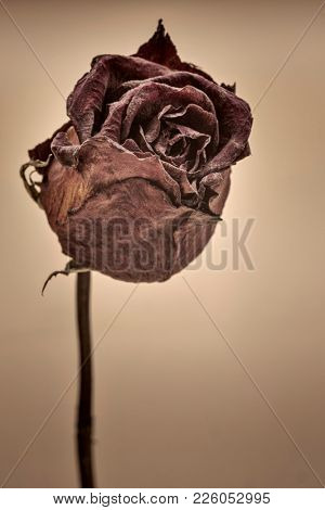 dried red rose on beige background with a copy space, black and white sepia toned image