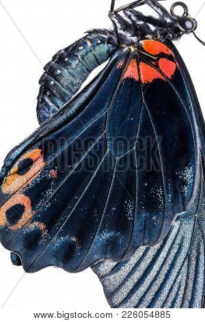 Male Great Mormon (papilio Memnon) Butterfly Wing