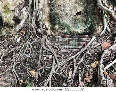 Big Tree Root In The Wall. Amazing Banyan Root In Deep Tropical Forest. A Old Tree Has Roots For Nat