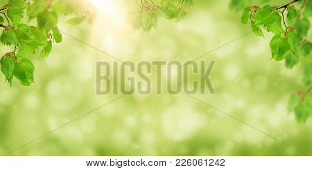 The Sun Shines In The Young Foliage Of The Linden Tree. Nature Background. Spring. Summer. Flowering