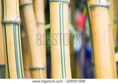 Cluster Of Yellow Asia Bamboo Tree Body Bamboo