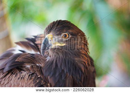 Portrait Of Golden Eagle Close Up. Eagle Head
