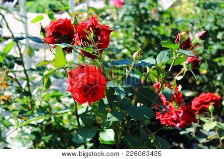 Red Roses In The Garden. Beautiful Red Roses For The Calendar. Bouquet Of Small Red Roses. Dark Red