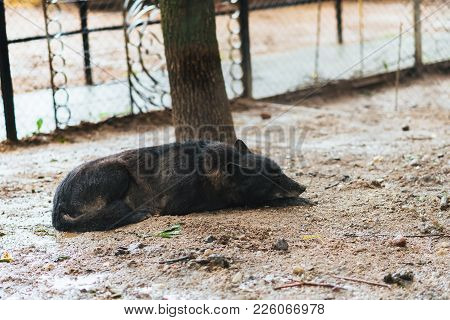Bored Black Wolf In Captivity For Any Purpose