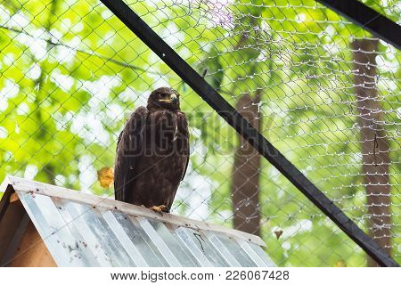 Steppe Eagle In Captivity On The Roof For Any Purpose