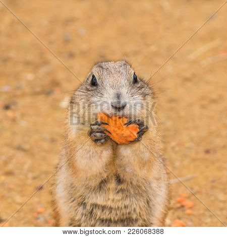 Prairie Dog Also Known As Genus Cynomys Eating A Carrot