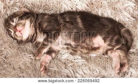 Asleep Newborn Siberian Kitten On A Warm Knitted Grey Sweater Close-up