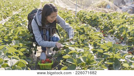 Asian Woman picking strawberry in the field