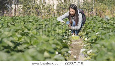Woman picking strawberry in the row of field