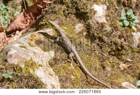 Rock Lizard ( Darevskia Saxicola) Basking In The Sun