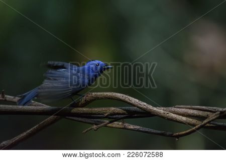 Low Key Image Of Male Black-naped Monarch Or Black-naped Blue Flycatcher Flapping The Wings, Thailan