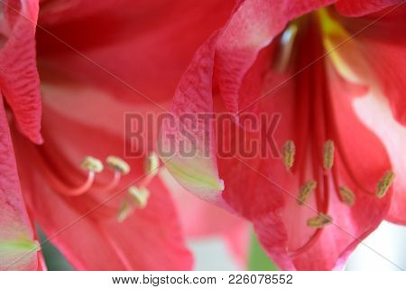Close-up Of A Pink Colored Belladonna Lily Also Called Amaryllis