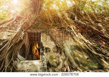 Statue Of Golden Buddha Situated In The Old Temple Under Root Of Bodhi Tree. Bang Kung Temple , Unse