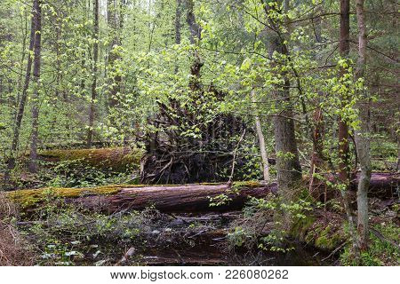 Springtime Wetland Stand With Old Tree Stump Among, Bialowieza Forest, Poland, Europe