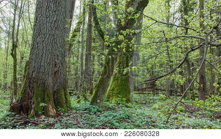 Natural Deciduous Forest In Springtime With Old Linden Tree In Foreground, Bialowieza Forest, Poland