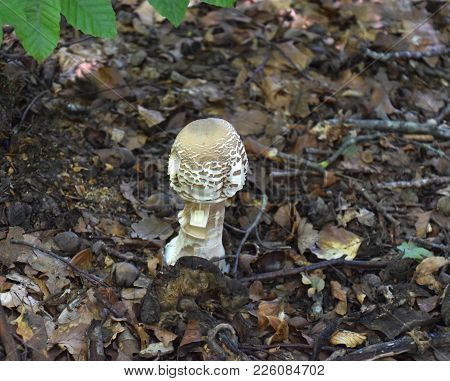 young parasol mushroom with a forest floor background poster