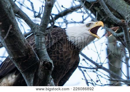 Bald Eagle Making Sitting In Tree Making Noise In Tree At Conowingo Dam, Maryland.